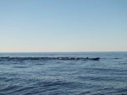 Миграция тюленей к Белому морю