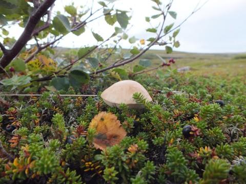 Голубика и черника, и грибов полярных стать